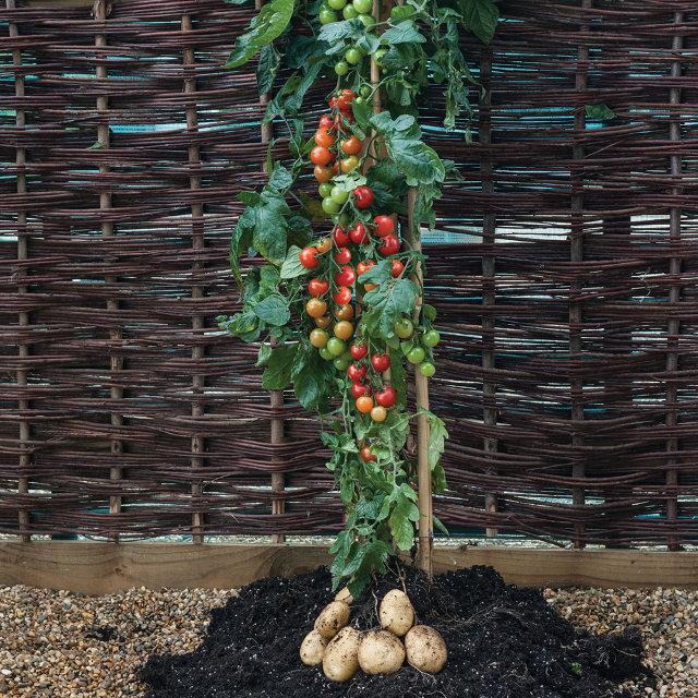 tomtato plante
