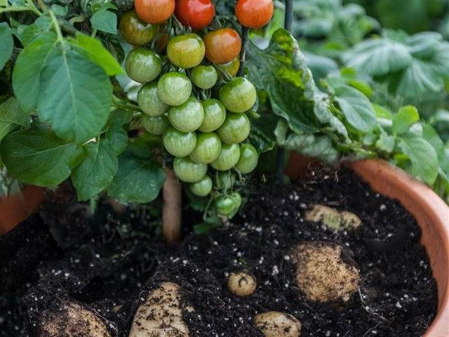 plante tomate patate