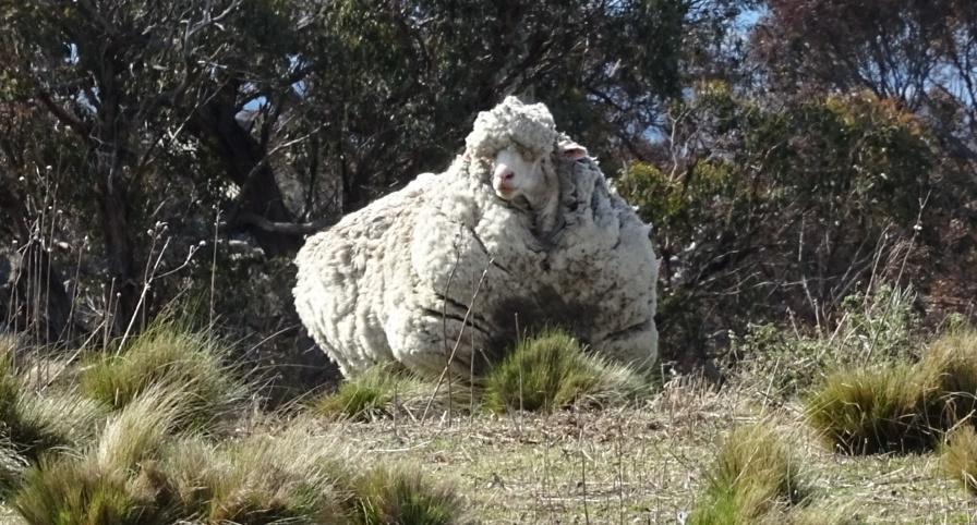 Mouton abandonné autralie