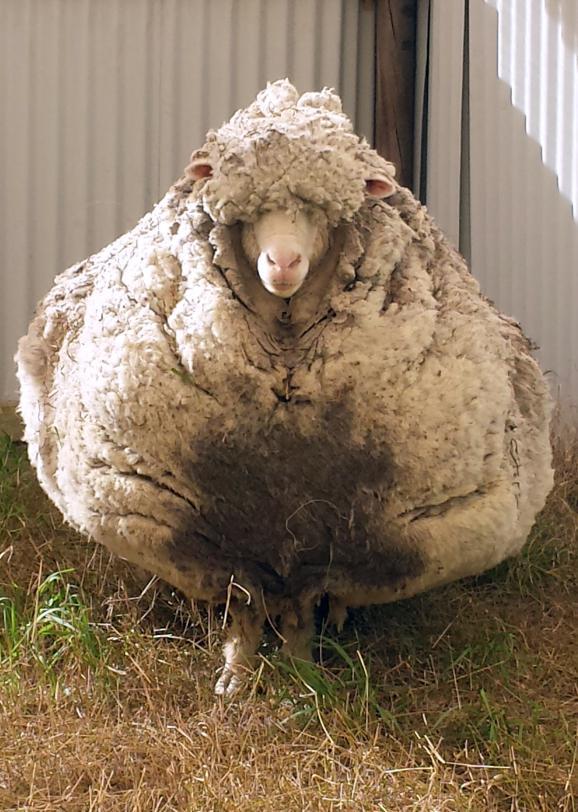 Mouton laineux australie